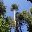 100' Cedar Tree Removal