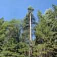 100' Fir Tree Removal